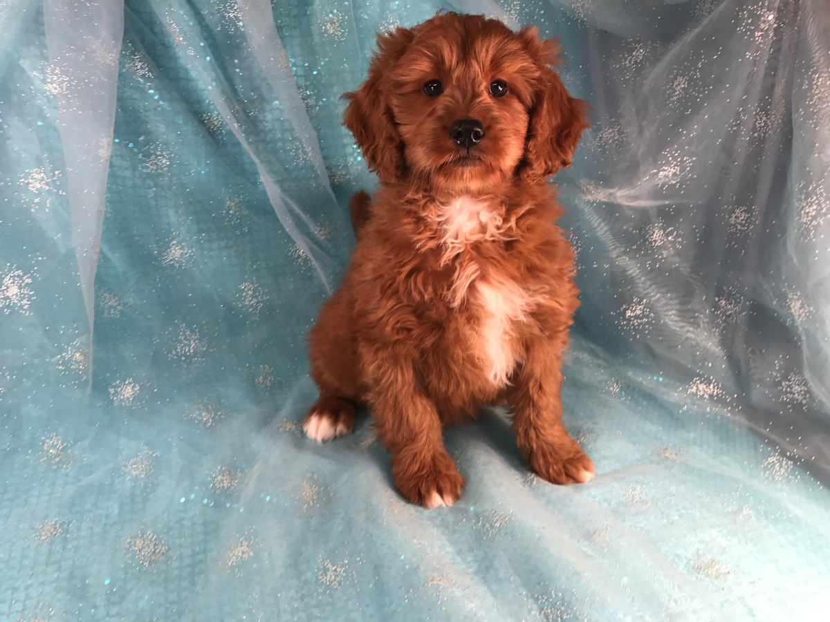 Dark Red Mini Bernedoodle Puppies For Sale 1800
