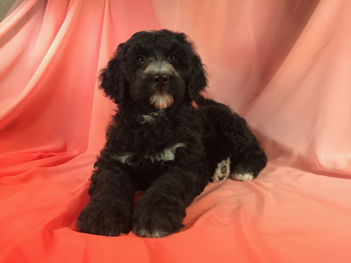 Ready Now-Black and White Female Miniature Bernedoodle Puppy