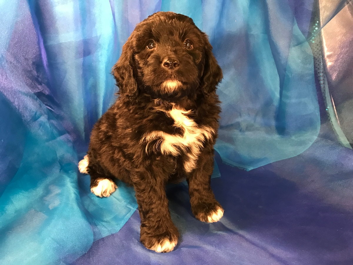 Iowa Breeders Black And White Miniature Bernedoodles