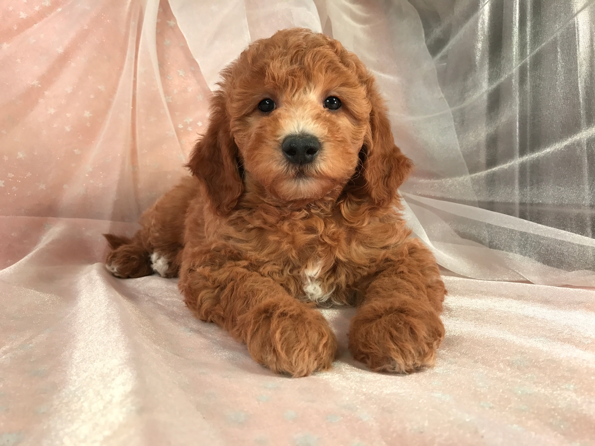 Professional Iowa Breeders Mini Goldendoodle Puppies