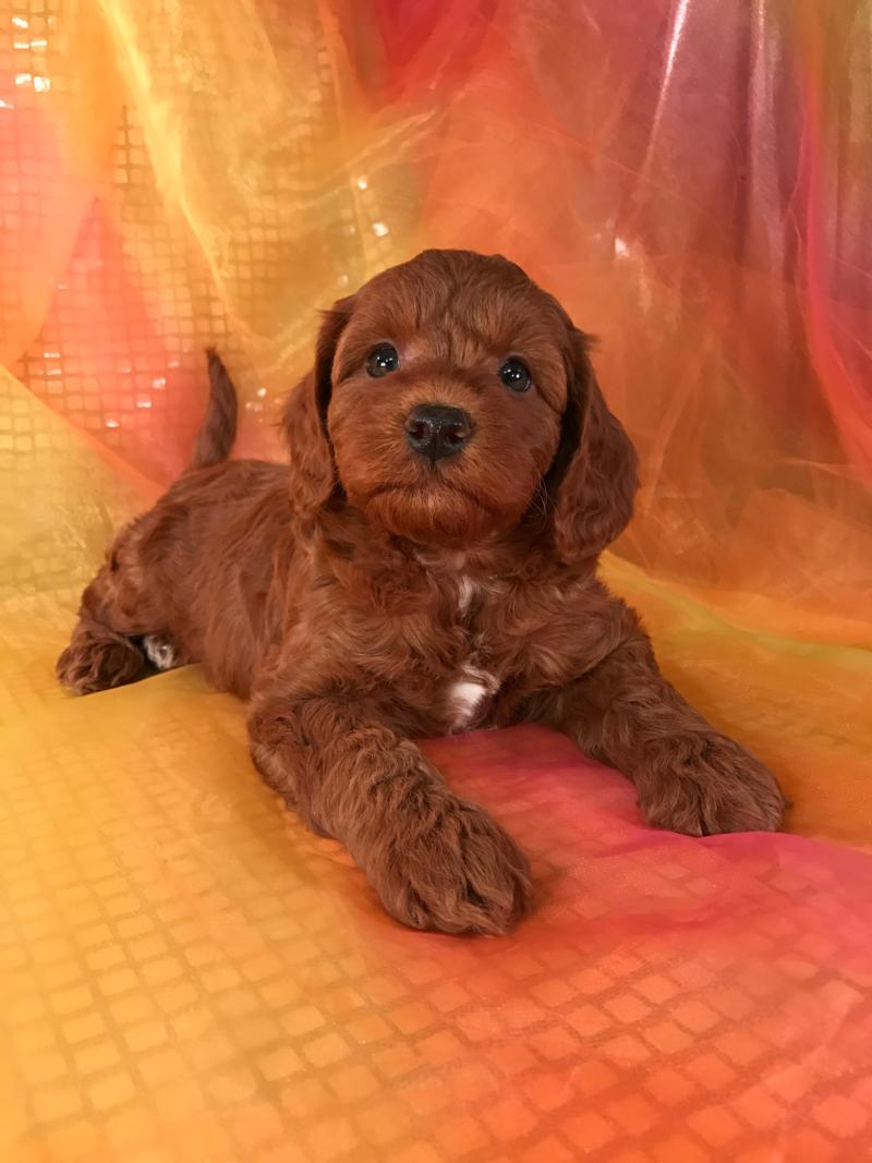 Miniature Goldendoodle Puppies For