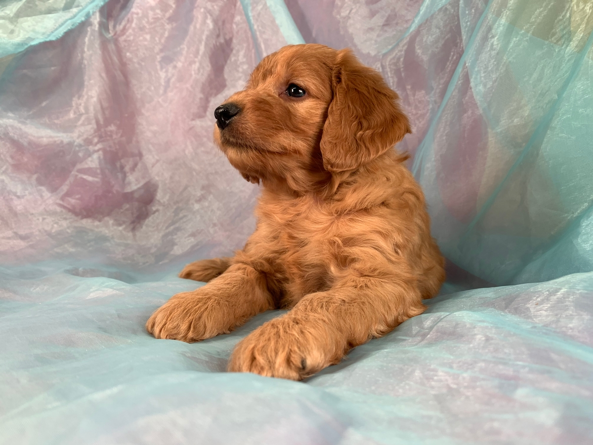 Miniature Goldendoodles-Male Puppy Born in North Iowa Ready Soon