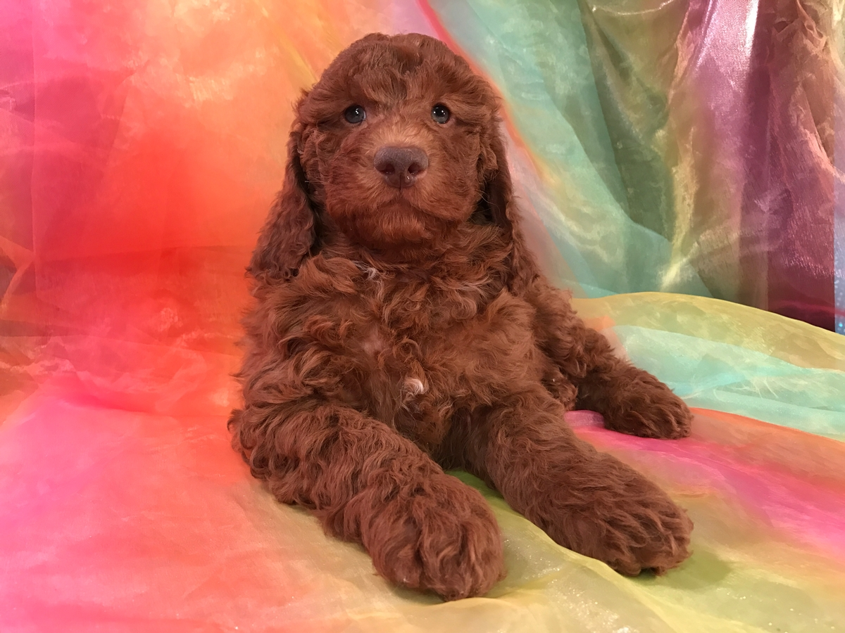 Dark Red Miniature Goldendoodle Breeders 4