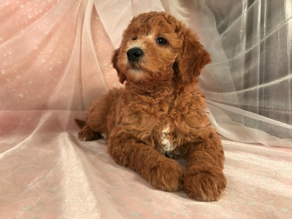 Male Apricot Mini Goldendoodle Puppy for Sale By A Great Breeder Near The Iowa Minnesota Border In Iowa $1500