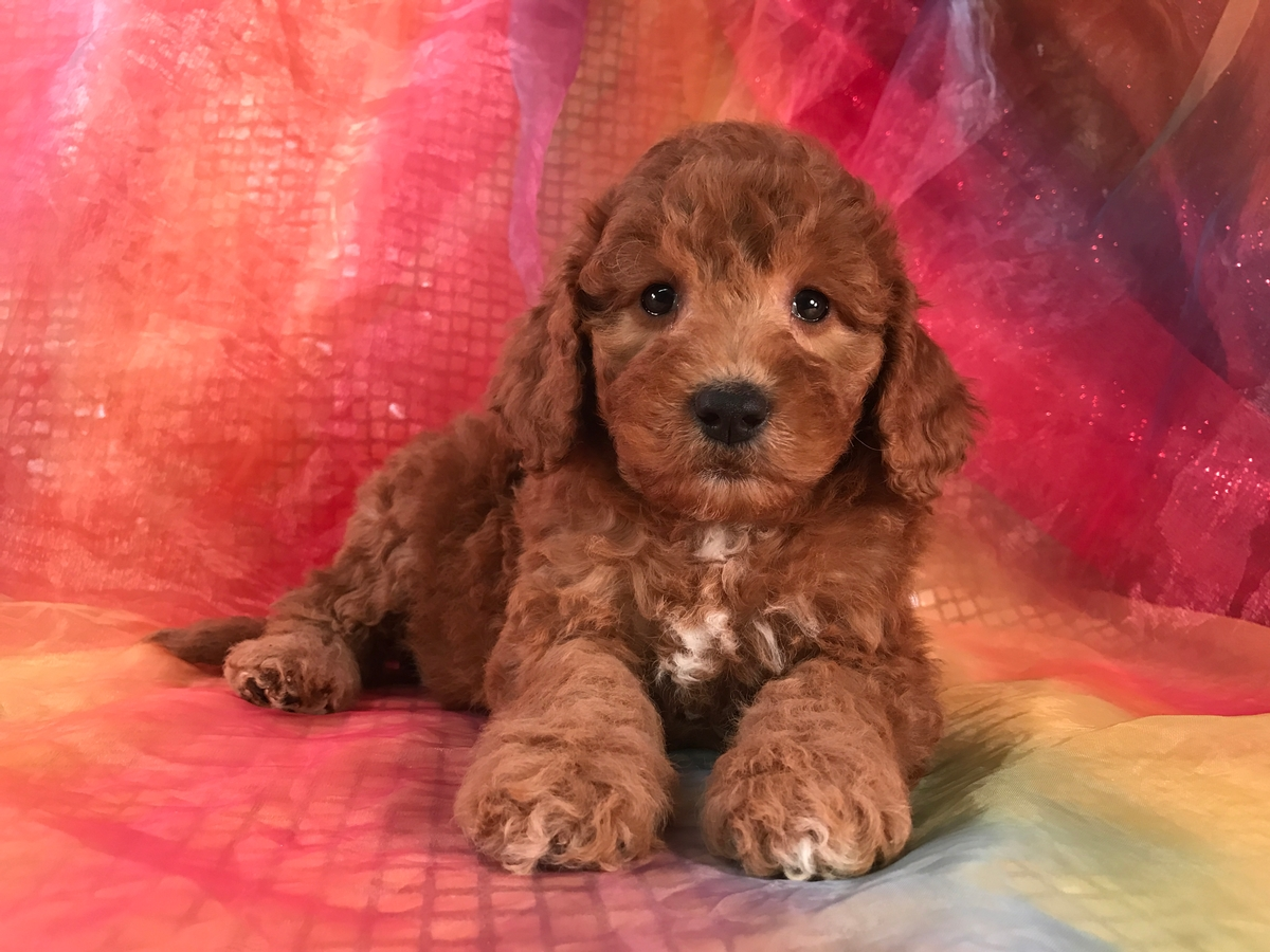 Mini Goldendoodle, Female, Pup for sale