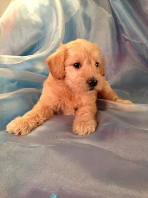 Male Schnoodle Puppy for sale #1 Born August 22, 2013 Schnoodle Breeders located in Iowa with Puppies for sale now!