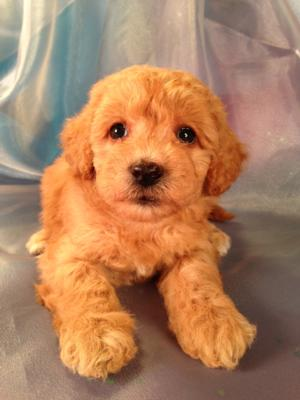 Female Apricot Schnoodle for sale #2 DOB 8-22-13|Puppies are available for pick up soon|Schnoodle Breeders