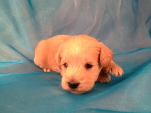 Schnoodle Puppy for sale #3 Ready March 2013|Most Schnoodles for sale in Massachusetts are sold at a Premium|Purebredpups Price- $750