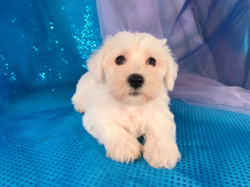 Iowa,Puppies for sale,Minnesota,IL,WI