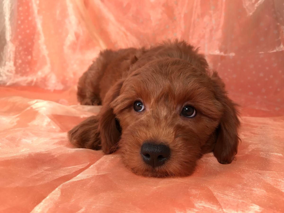 Red Goldendoodle Puppy for Sale, Miniature, DOB 1-10-18 $1500 Located near Joice Iowa 50446.