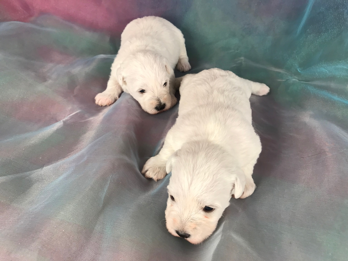 White Miniature Schnoodle Puppies for Sale DOB 2-14-2019 $975