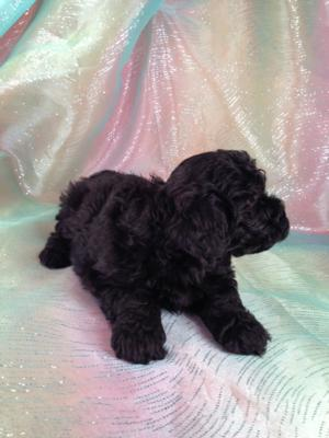 This Black Female Miniature Schnoodle puppy will be ready to go home