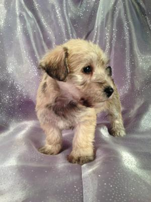 Iowa's top Schnoodle Breeder would like to announce their most recent litter of Schnoodle Puppies!