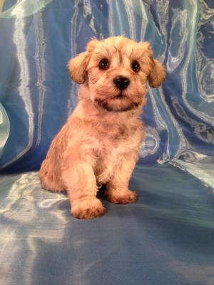 Schnoodle Puppies for sale by Iowa's top Breeder!  Schnoodles are $750 for males and $950 for females. We are located only ten miles from the Minnesota Border and I-35.