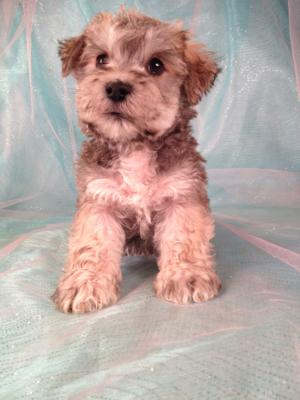 This moyen poodle puppy from last years litter has his forever home!