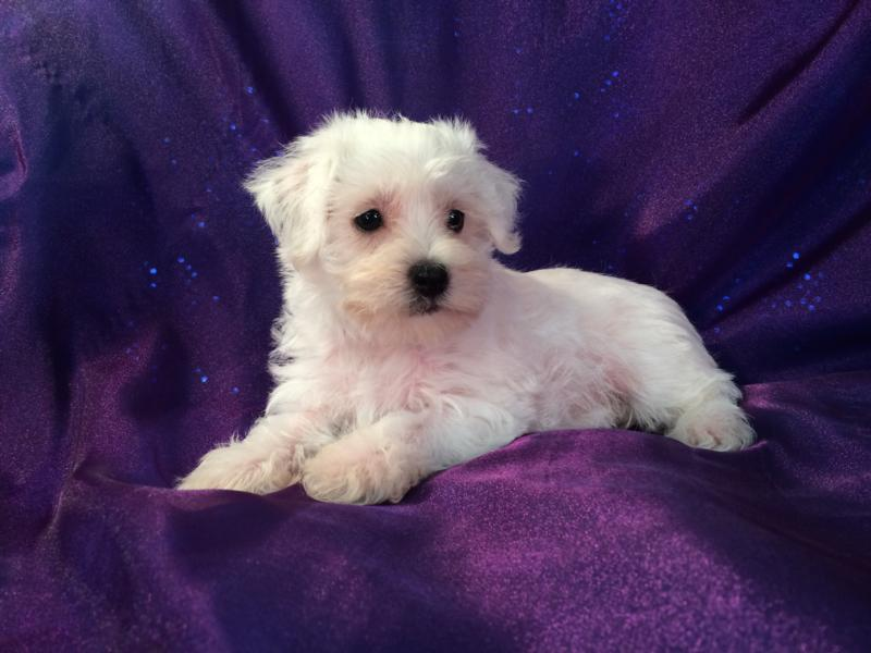 Available white female mini schnoodle pup for sale