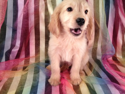 Goldendoodle puppy for sale #12 Male Ready December 2012|Great Deals on Flights into Philadelphia PA or Newark NJ
