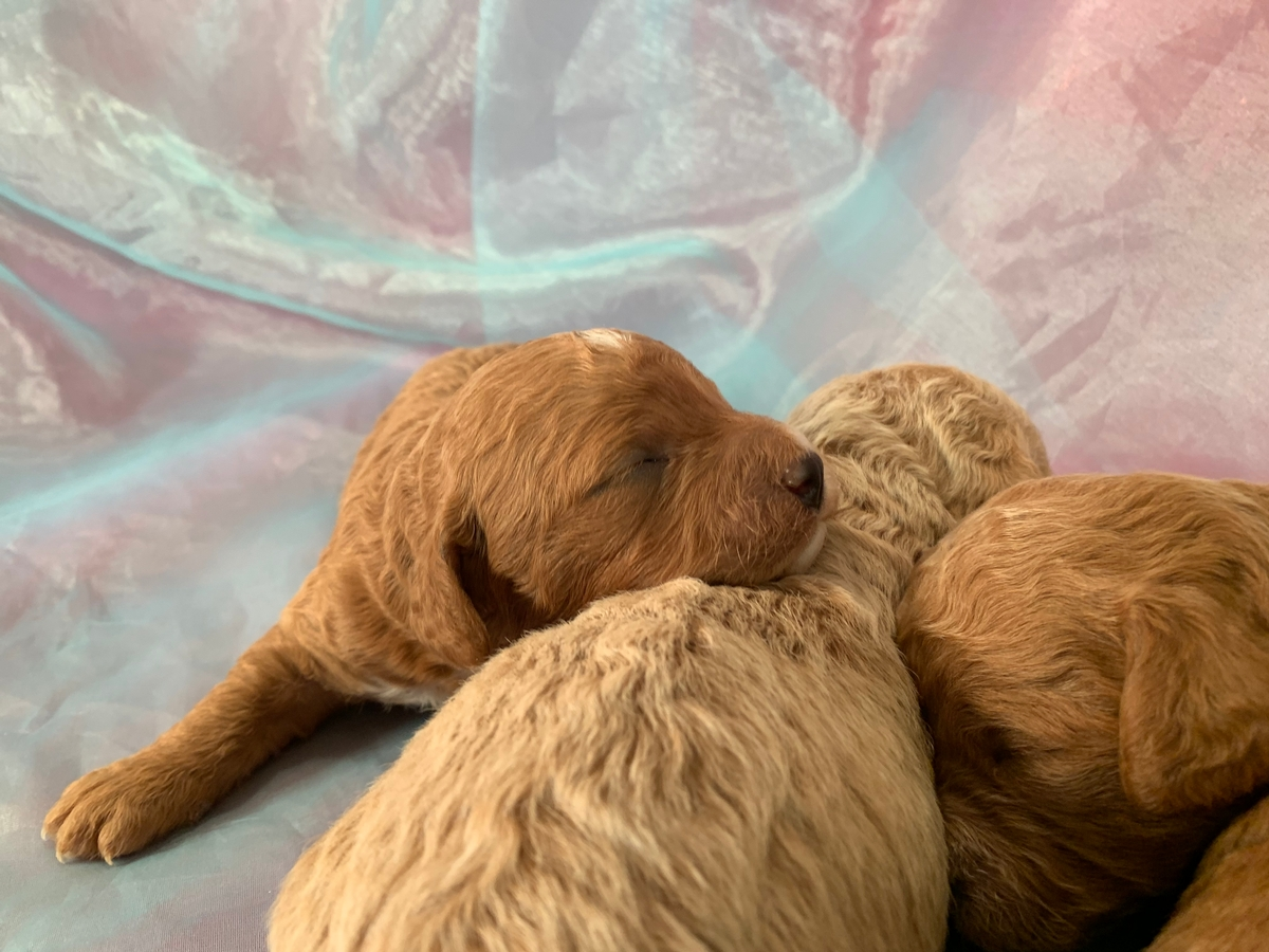 Dark Red Poodle Bichon Litter for Sale