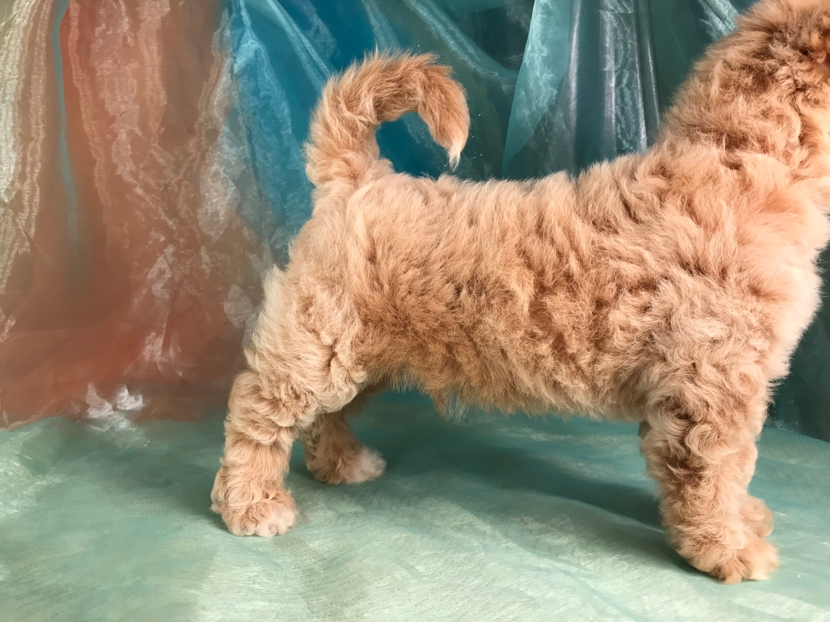 Apricot Bichon Poo Puppy for Sale