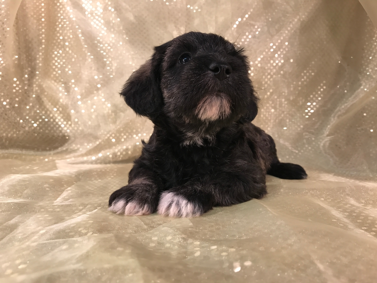 Professional Miniature schnoodle Breeders