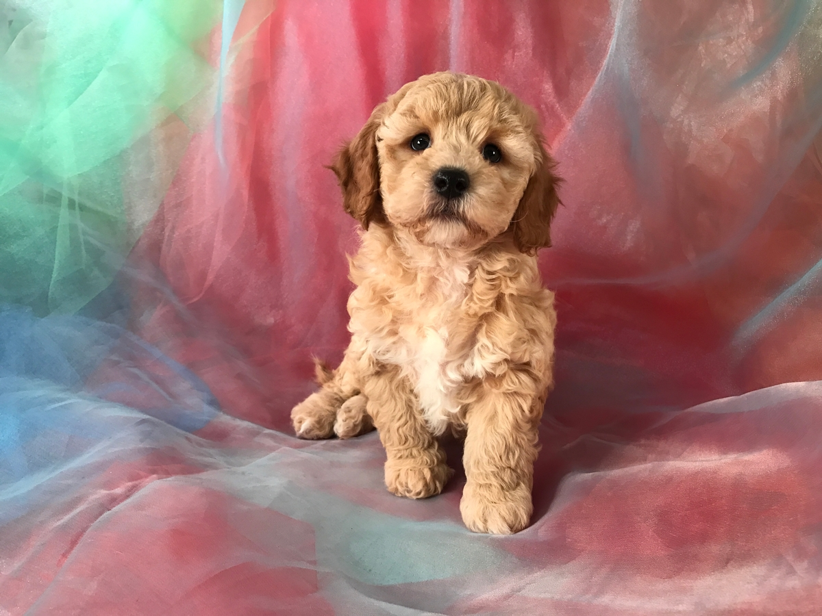 Poodle Bichon Mix Puppies for Sale, Iowa, Illinois, Minnesota Breeders Located Near the Iowa Minnesota Border
