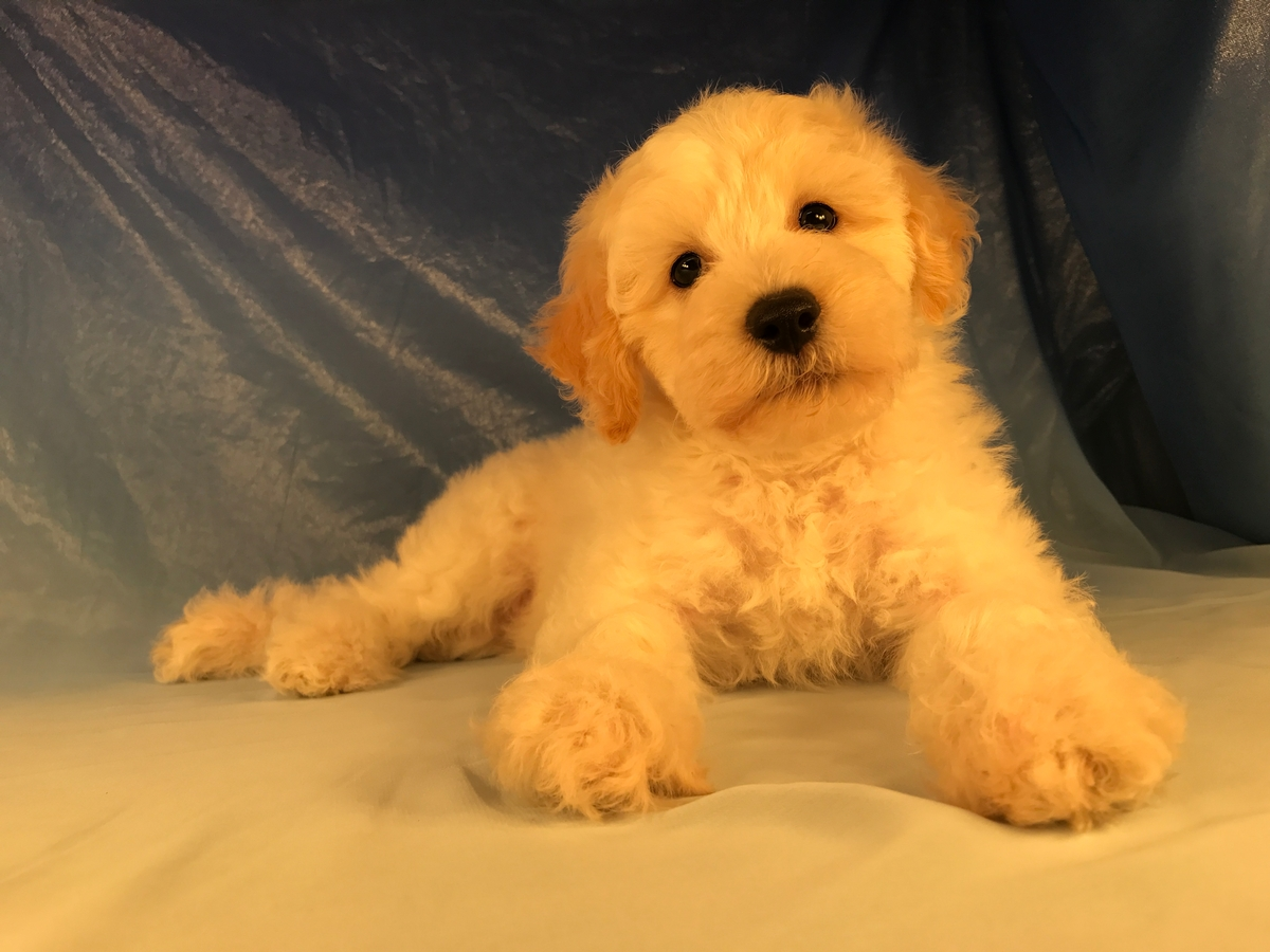 White and apricot Male Bichon poo
