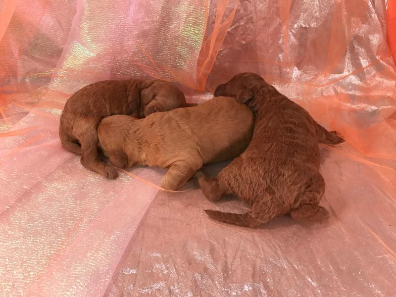 Iowa Pups for sale,Miniature Golden Doodles