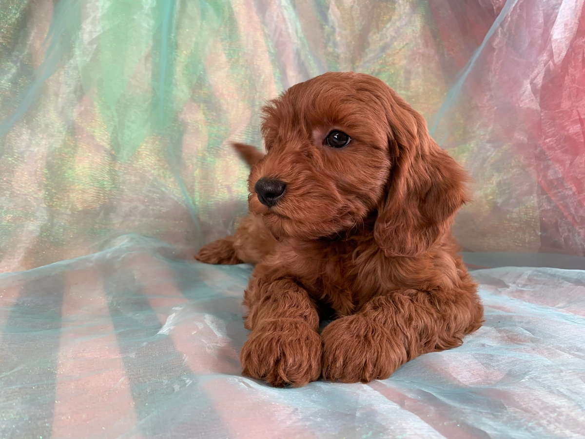 F1b Miniature Goldendoodles, Puppy for Sale