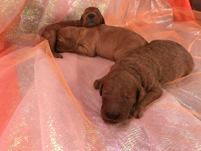 Three Standard Goldendoodle Puppies for Sale!  Iowa, Minnesota, Illinois, and Wisconsin,  Dark Red Pups 6