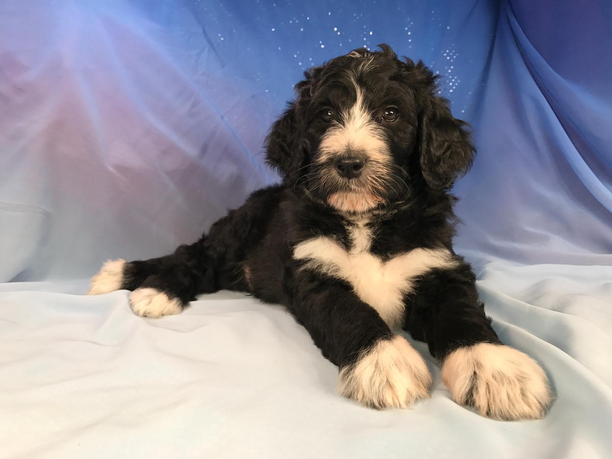 Bernedoodle Puppies for sale, Black and White Litter, Ready Soon