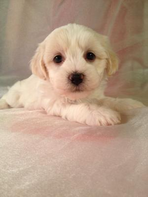 Female Lachon Puppy for sale #2 DOB 3-10-14 Teddy bear breeders in Iowa with Lhasa Bichons Ready April 2014