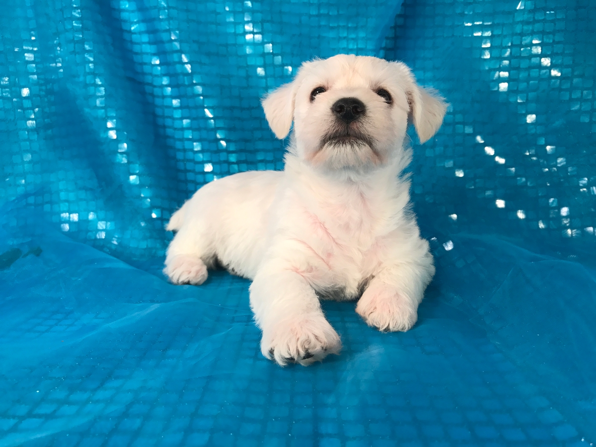 Female Schnoodle Puppy for Sale 5