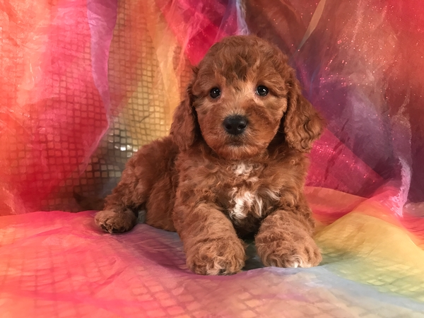 Female Mini Goldendoodle Pup-Dark Reds