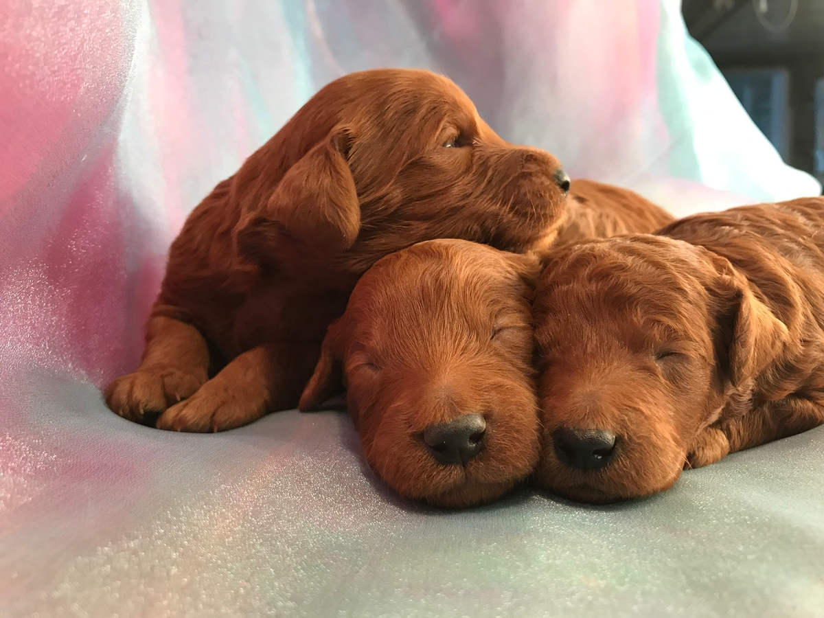 Red Miniature Goldendoodle Puppies