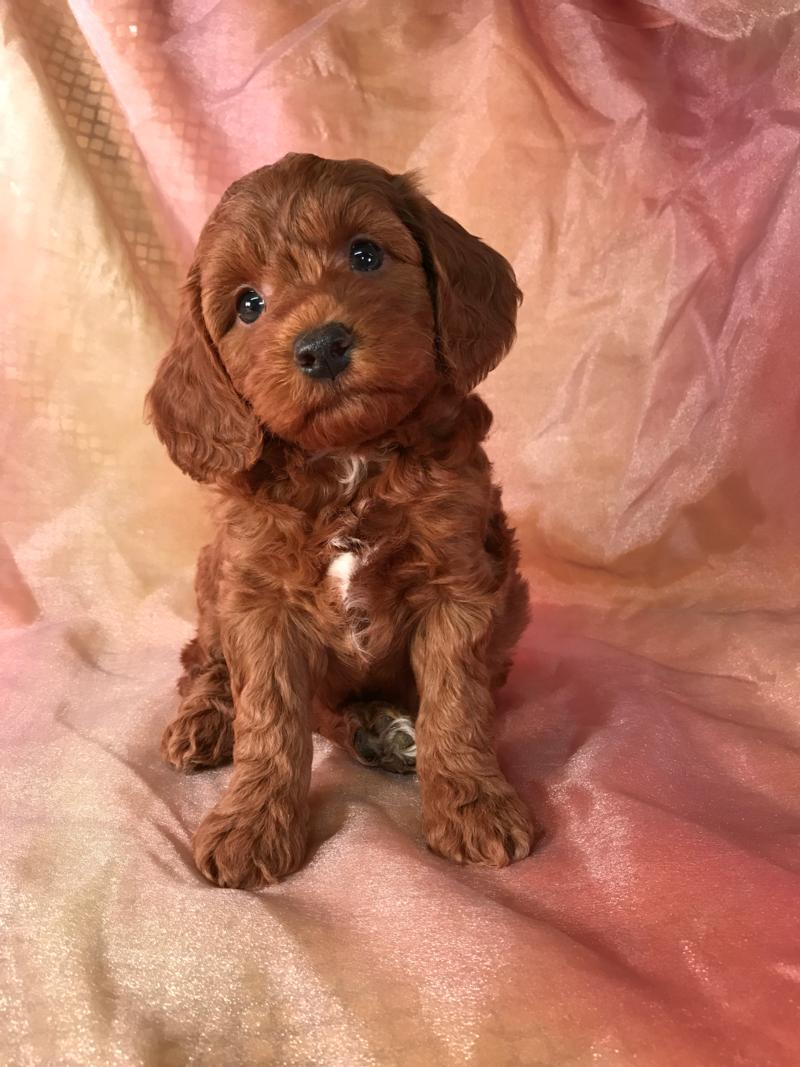 Dark Red Female F1b Mini Goldendoodle Pup for Sale  6