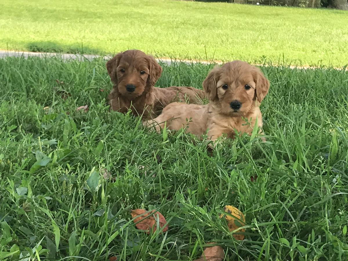 blondie and red pup goldendoodle