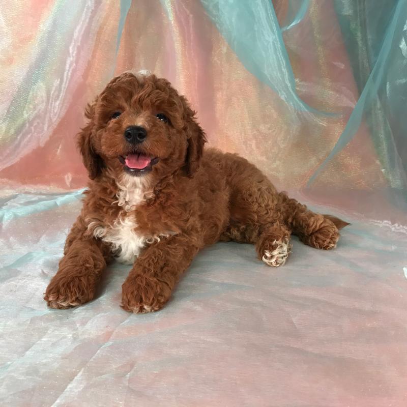 Dark Red Mini Goldendoodle Puppies For