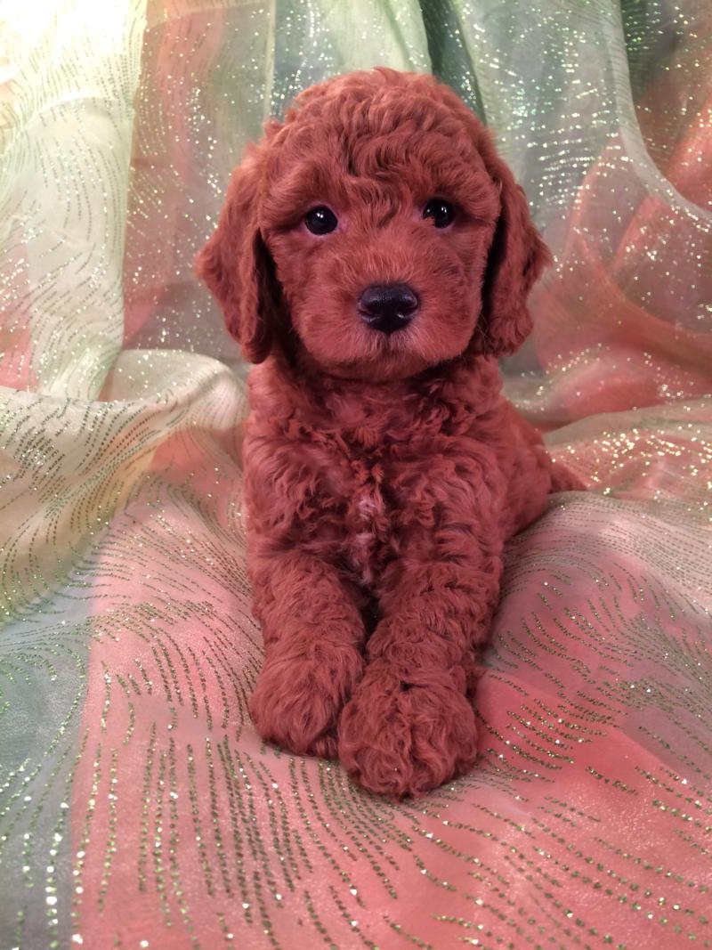 Male Bichon Poo Puppy, Dark Red, for sale
