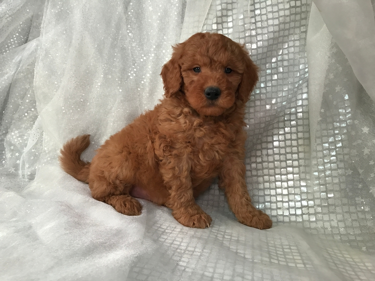 Goldendoodle Puppy for sale $950