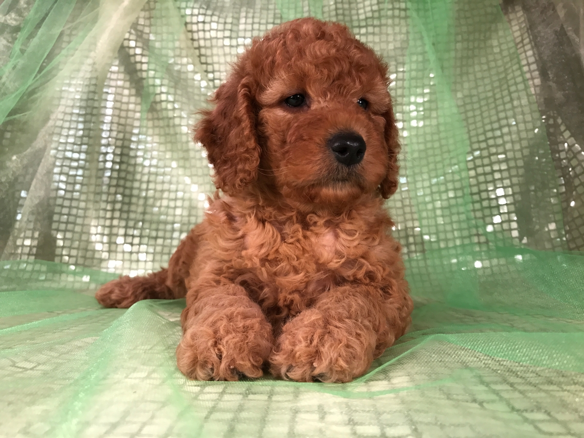 Female Mini Goldendoodle Puppy for Sale in Northern Iowa!
