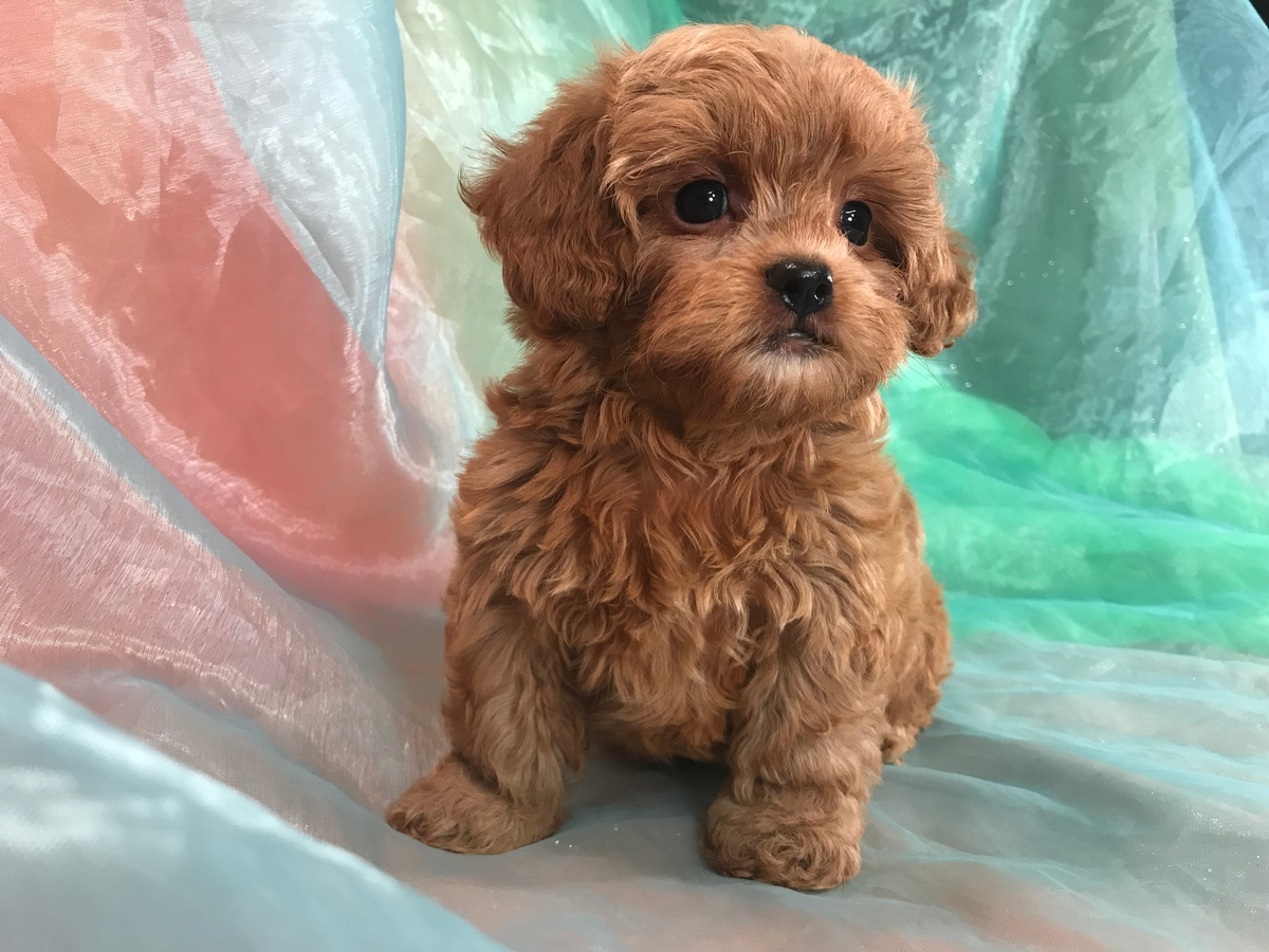 Dark Red Male Shih tzu Poodle Puppy for Sale