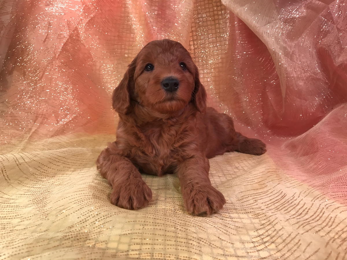 Dark Red Silky Soft Mini Goldendoodle Puppies for Sale $1500