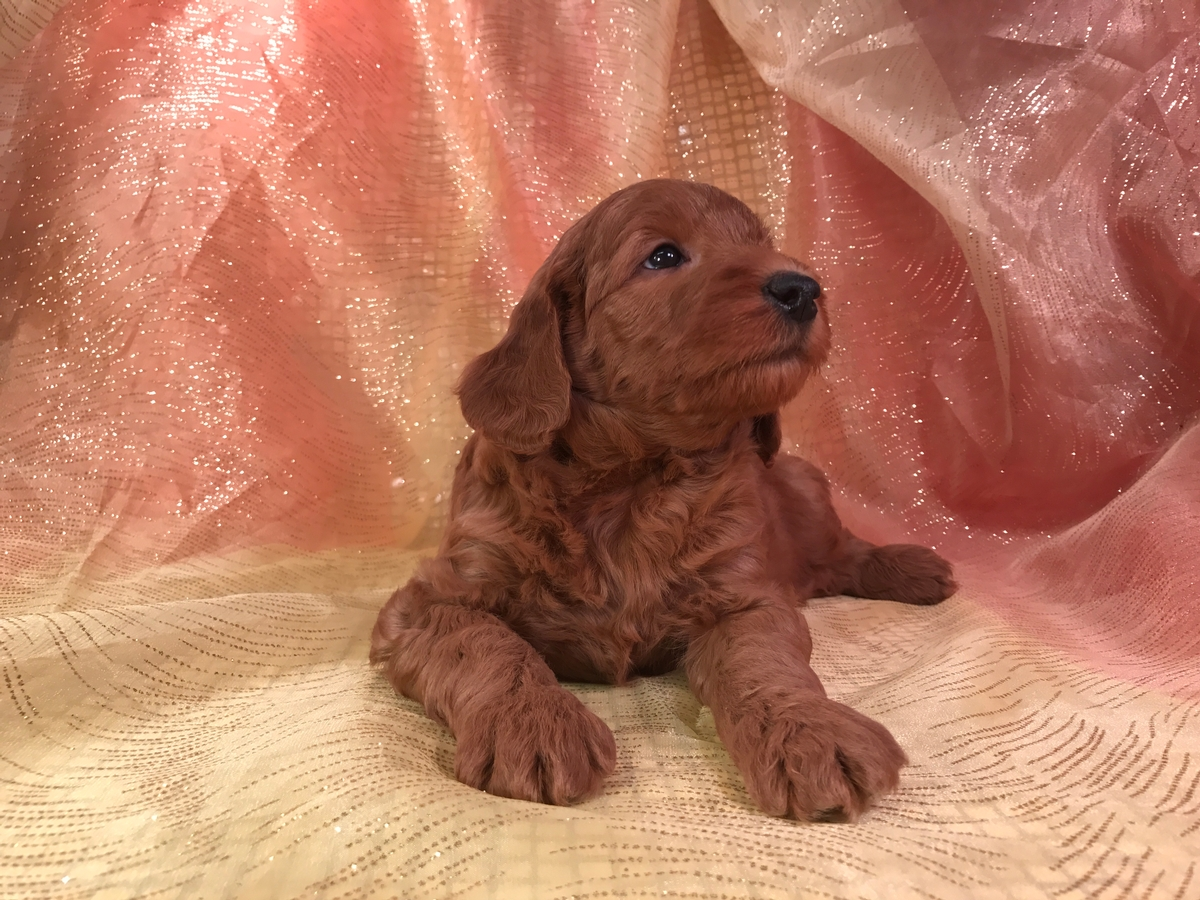 Dark Red Silky Soft Mini Goldendoodle Puppies for Sale $1500 2