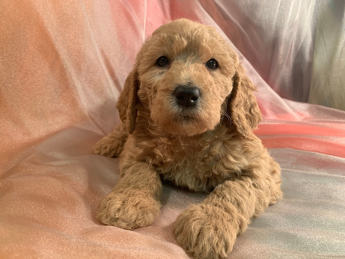 Female Standard Labradoodle Puppy for Sale DOB 11-2-2019 $975