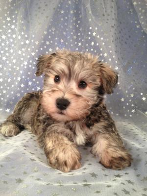 Iowa Schnoodle Breeders with a litter Born March 6th 2013 Ready Now! Shipping for only $150 to most airports!
