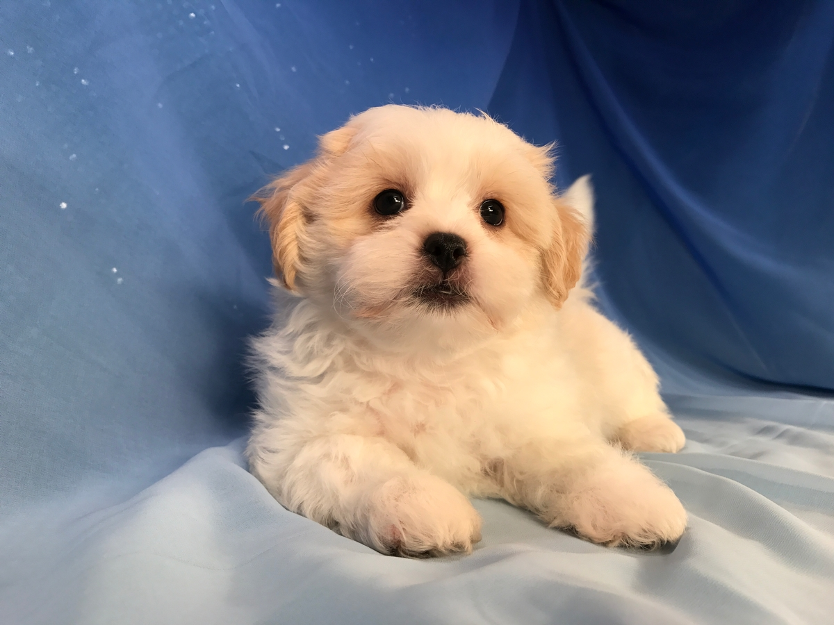 White and Apricot Teddy Bear Puppy for Sale $875 Ready soon!