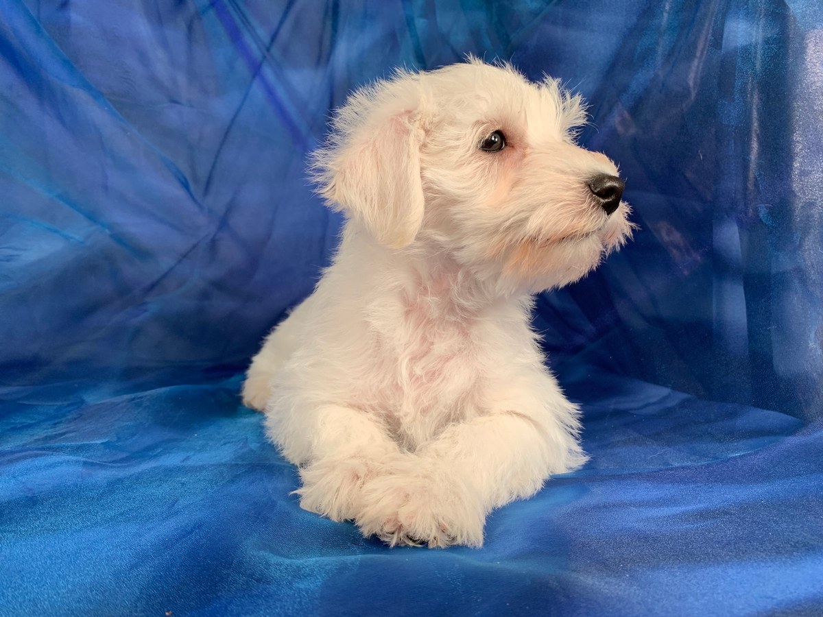 Schnauzer Mother, Poodle Father,Puppy for Sale