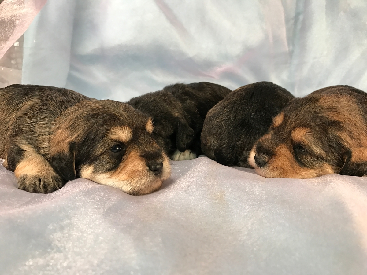 Two Male and Two Female Tri Colored Miniature Schnoodles 3