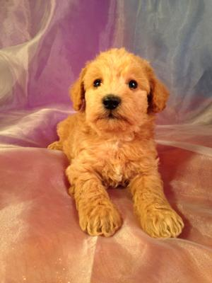 Iowa's Best Schnoodle Breeders, Brian and Karen Sterrenberg, Have A New Litter of Schnoodles For Sale!  3