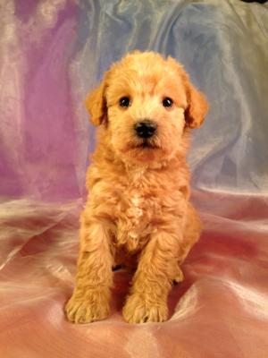 Iowa's Best Schnoodle Breeders, Brian and Karen Sterrenberg, Have A New Litter of Schnoodles For Sale!  2